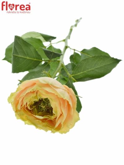 ROSA GOLDEN LADY 50cm (XL)