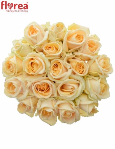 Meruňková růže PEACH SNOWY 60cm (L)
