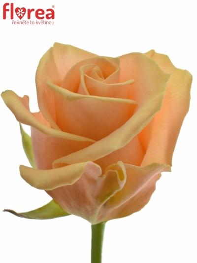 ROSA PRIMA DONNA+ 80cm (L)