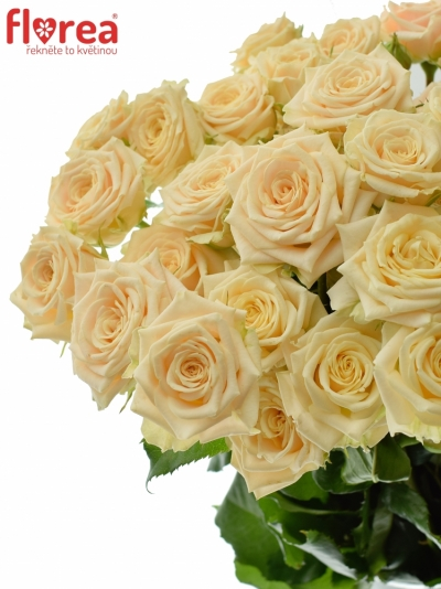 Meruňková trsová růže TANJA 40cm/3+