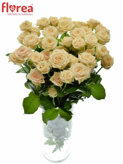 Meruňková trsová růže TANJA 40cm/3+ (S)