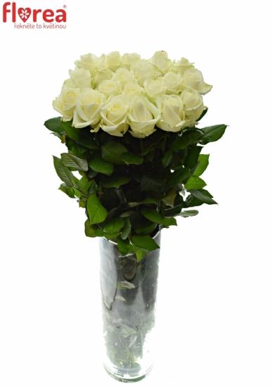 Metrová růže AVALANCHE+ 100cm