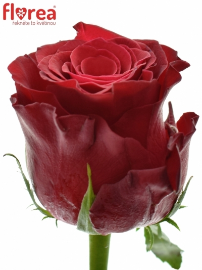 ROSA RHODOS 100cm (XXL)