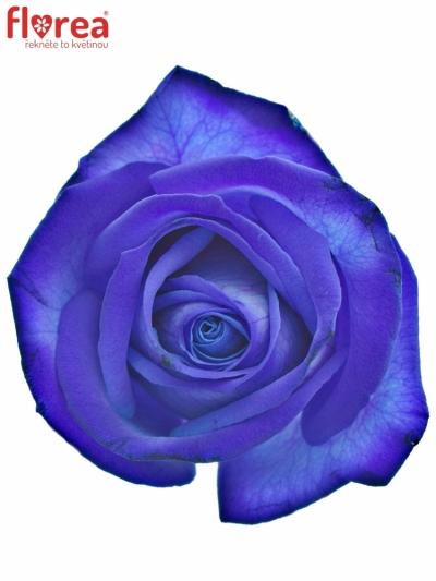 ROSA BLUE VENDELA 80cm - MODRÁ RŮŽE (M)