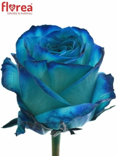 ROSA KRYPTONITE BLUE 70cm (XL)