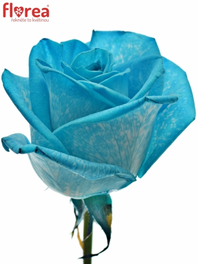 ROSA LIGHT BLUE VENDELA - MODRÁ RŮŽE 60cm (M)