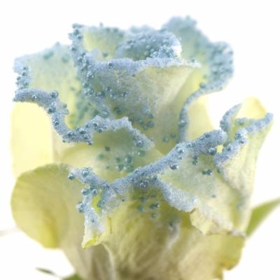 Modrá růže PEARL BLUE 60cm (L)