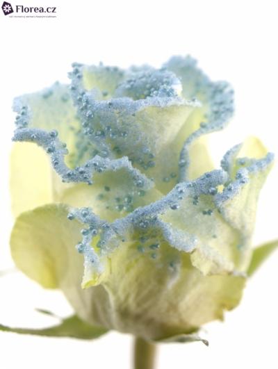 ROSA PEARL BLUE 60cm (R 244)