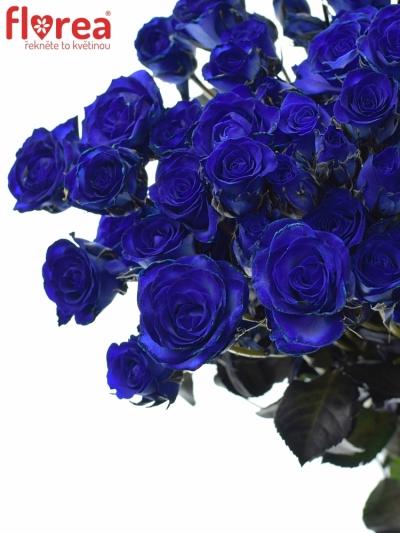 ROSA TR BLUE JOSEPHINA - MODRÁ RŮŽE 60cm/3+