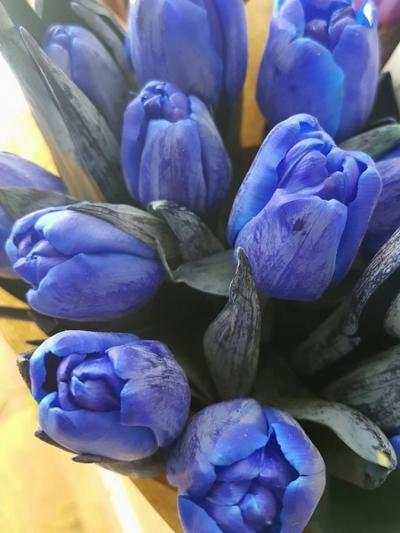 TULIPA ANTARCTICA BLUE 38cm/36g