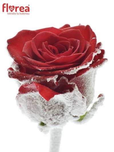 Rosa RED EAGLE Cold Feet 70cm