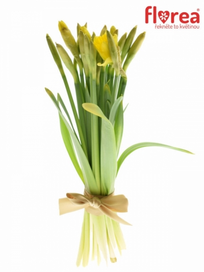 NARCISSUS DUTCH MASTER 52cm/75g