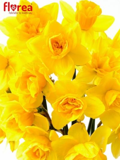 Narcis plnokvětý DICK WILDEN