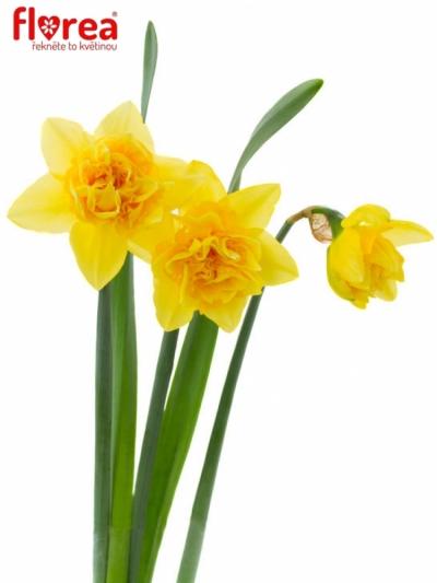 Narcis plnokvětý DICK WILDEN 52cm/56g