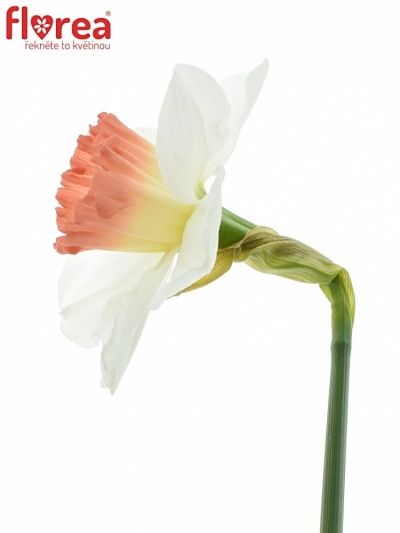 NARCISSUS PINK CHARM 46cm/28g