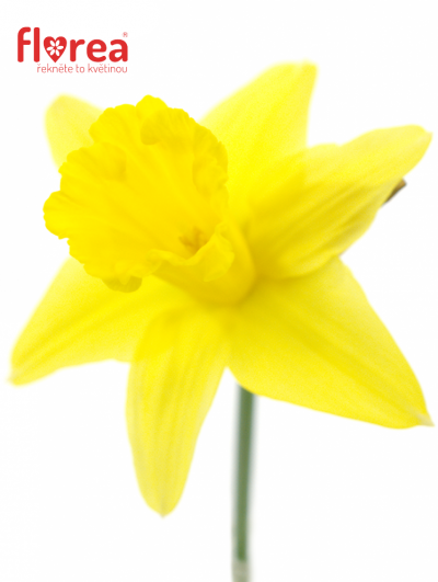 NARCISSUS STANDARD VALUE 35cm/9g