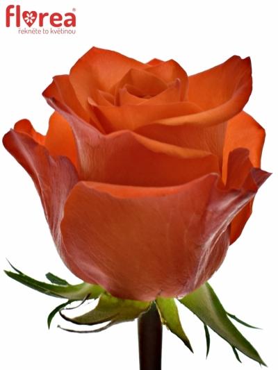 Oranžová růže PATZ 60cm (M)