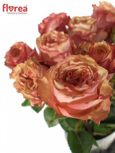 Oranžová růže ADVANCE ALHAMBRA 70cm