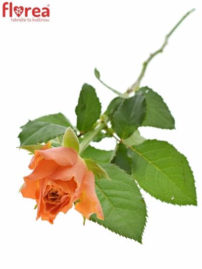 ROSA ARANCIO 70cm (L)