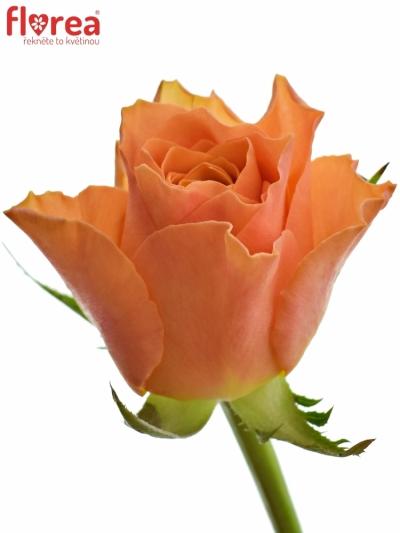 Oranžová růže ARANCIO 60cm (M)