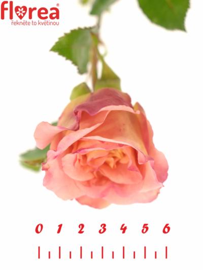 ROSA AUGUSTA LUISE 40cm/2+