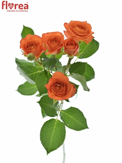 Oranžová růže BABE 70cm/6+ (S)