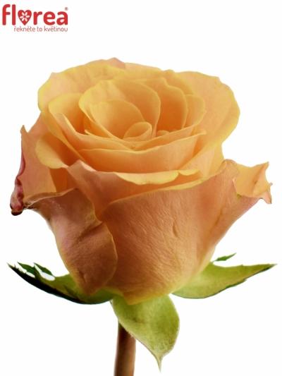 Oranžová růže CANDID PROPHYTA 60cm
