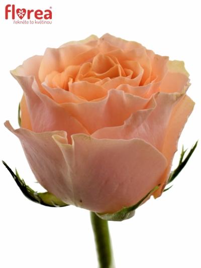 Oranžová růže CARPE DIEM