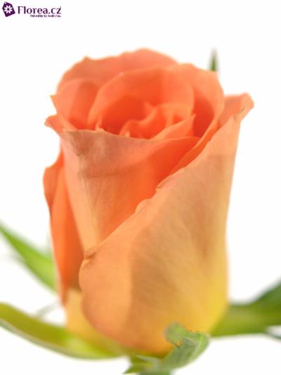 Rosa CHELSEA 40cm (S)
