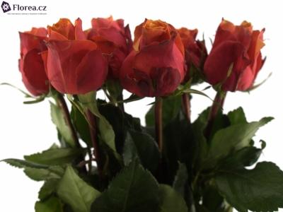 ROSA CHERRY BRANDY 60cm