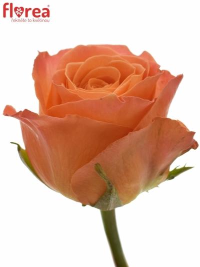 Oranžová růže CLARENCE+ JONG 50cm (L)