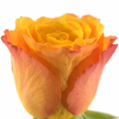 Oranžová růže CONFIDENTIAL