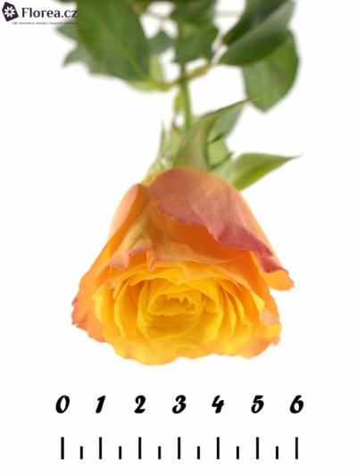 ROSA CONFIDENTIAL 50cm (M)