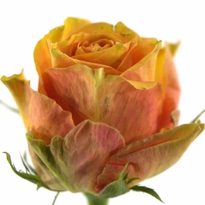 Oranžová růže CUBA LIBRE