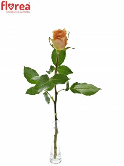 ROSA CUENCA+ 60cm (L)