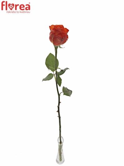 ROSA DUTCH BEAUTY! 70cm (XXL)
