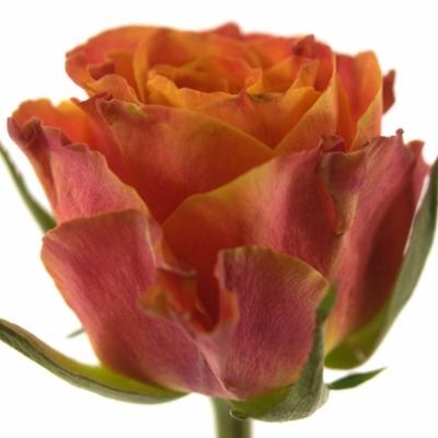 Oranžová růže ESPRESSO 70cm (XL)