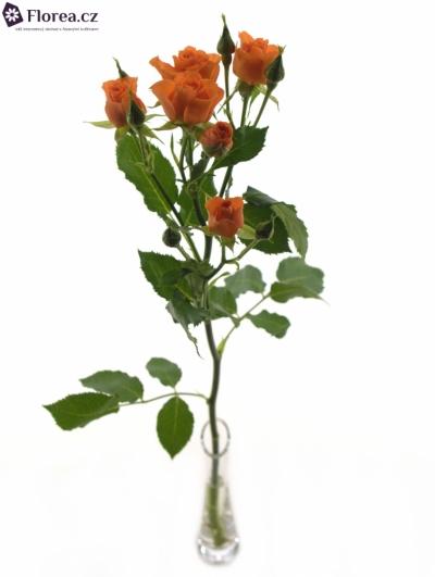 ROSA TR FANCY 50cm/4+