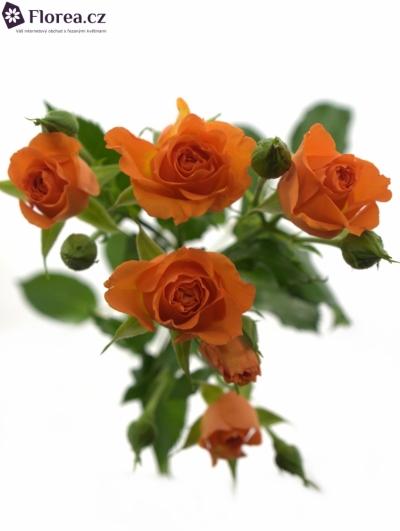Oranžová růže FANCY
