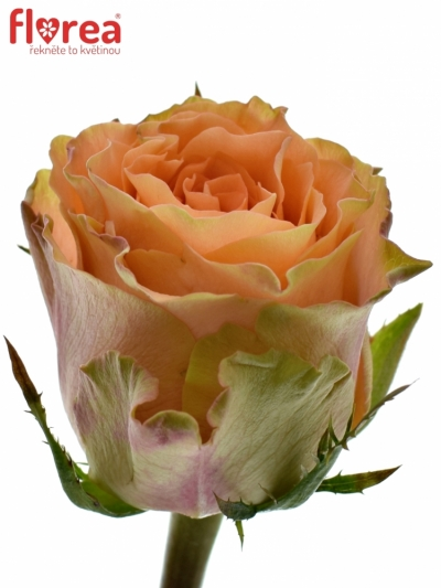 Oranžová růže FLORENTINE 50cm (XL)
