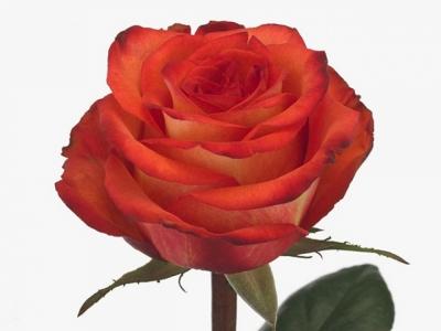 Oranžová růže SUNGLAZE 80cm