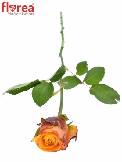 ROSA GRANADA 50cm (L)