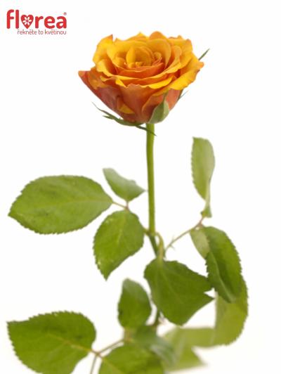 ROSA JULIA 60cm (S)