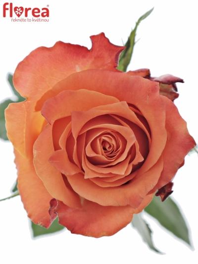 ROSA JULISCHKA 70cm (XL)