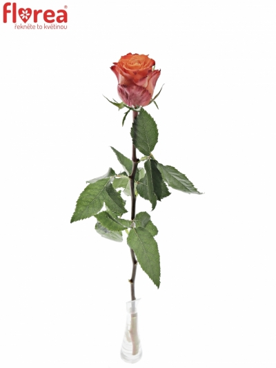 Oranžová růže JULISCHKA 50cm (XL)