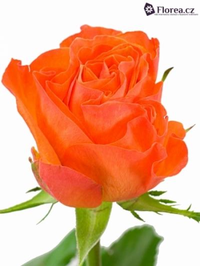 Oranžová růže KALAHARI 50cm