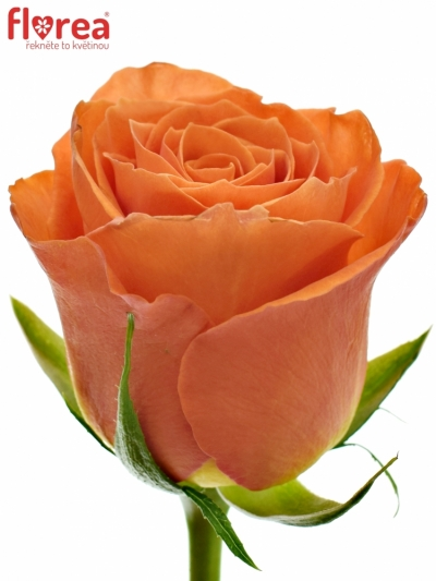 ROSA KINGSDAY+ 40cm (M)