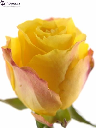 ROSA LADY BUTTERFLY 50cm