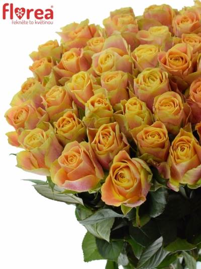 Oranžová růže MARACUJA 50cm (XL)