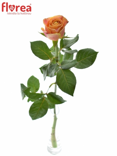 ROSA MARACUJA 50cm (M)